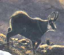 The mounatain goat or Gams, common in the Liechtenstein mountains